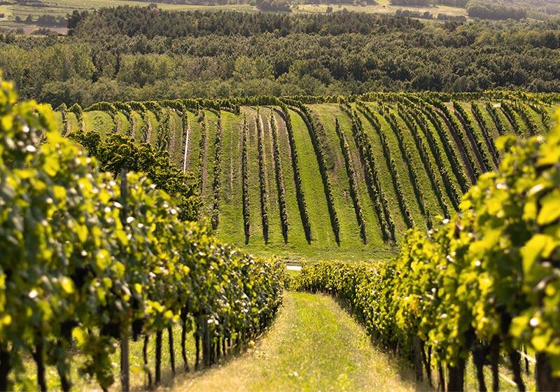 Largo Vino szőlő sor - fűmagkeverék